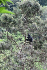 lutung 2