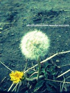 Dandelion, dengan warna kuning khasnya serta benih benih putih yang siap diterbangkan angin